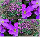 Aubrieta deltoidea - Purple Rockcress - Rock Garden Seeds - Hardy ZONES 4 To 8
