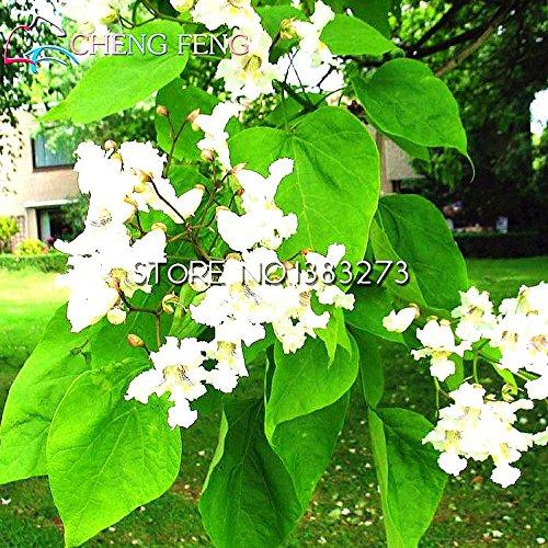 100pcsCatawba-tree Catalpa Seeds Family Jardin du Nord Plante vivace Graines Arbre Plantes à fleurs Hardy SVI