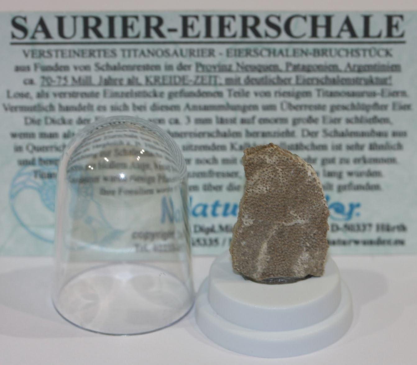 TITANOSAURIER Petrificado - cáscaras de huevo - unidades, tamaño pequeño! En pequeñas claro-dom: Amazon.es: Hogar