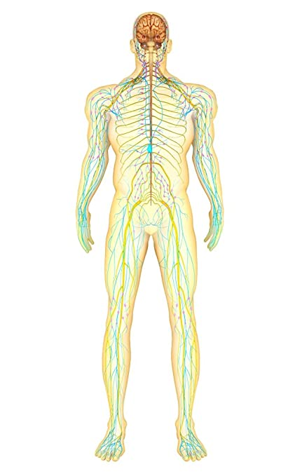 Amazon Anatomy Of Human Nervous System And Lymphatic System