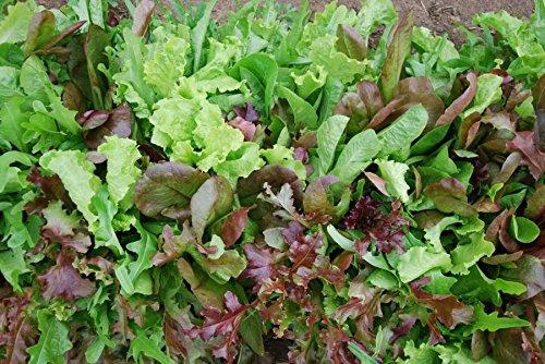 Bulk Organic Mesclun Mix Seeds (1/4 Lb) 106,000 Seeds