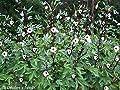 Roselle Hibiscus AKA: Florida Cranberry, Indian Sorrel, Jamaican Sorrel, Rosella, Queensland Jam Plant, Hibiscus sabdariffa (15+ Seeds)