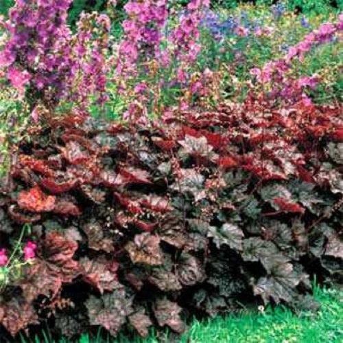 - HEIRLOOM NON GMO Heuchera Purple Palace Coral Bells 50 seeds