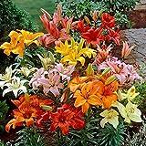 Mixed Oriental Lilies - 12 bulbs