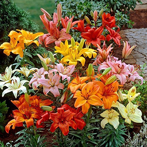 Mixed Oriental Lilies - 12 bulbs by yuni116