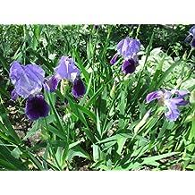 Iris plant at the public park .