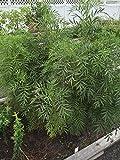 Mexican Marigold, Tagetes Minuta, Medicinal Seeds, Organic, 50 Seeds Per Pack