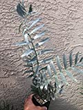 Encephalartos Arenarius TRUE BLUE OVERGROWN 5 Leaves Ice Blue Cycads Nursery
