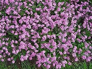 100Victoria rosa Forget Me Not Myosotis sylvatica Semillas de flores + regalo & Peine S/H