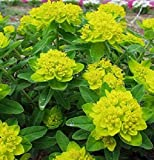30+ Euphorbia Polychroma / Cushion Spurge Flower Seeds / Perennial