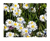 English Lawn Daisy Mix, Lawns and Borders - 1000 Seeds - Bellis Perennis