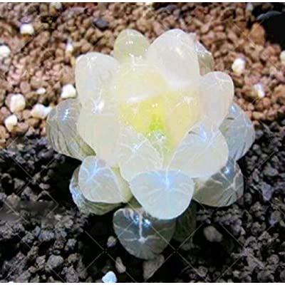 200pcs Rare Crystal Clear Beauty Succulents Seeds Easy to Grow Potted Ornamental Plant for Home Garden Courtyard : Garden & Outdoor
