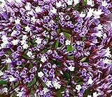 Limonium Perezii aka Sea Lavender ... 20 seeds