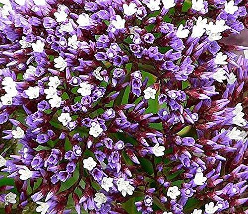 - Limonium Perezii aka Sea Lavender ... 20 seeds