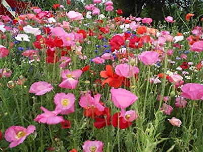 2000 SHIRLEY (Corn / Field / Flanders) POPPY MIXED COLORS Papaver Rhoeas Flower Seeds