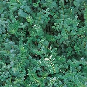 Herb Seeds - Garden Burnet - 500 Seeds