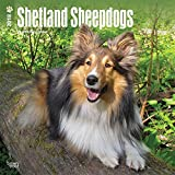 Shetland Sheepdogs 2018 12 x 12 Inch Monthly Square Wall Calendar, Animals Dog Breeds