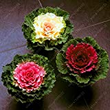 HOO PRODUCTS - Flower Seeds bonsai Flowering Ornamental Cabbage Seeds Plant Flowering Kale In Bonsai Or Pot Garden Decoration 100 Pcs/Bag Loss Promotion