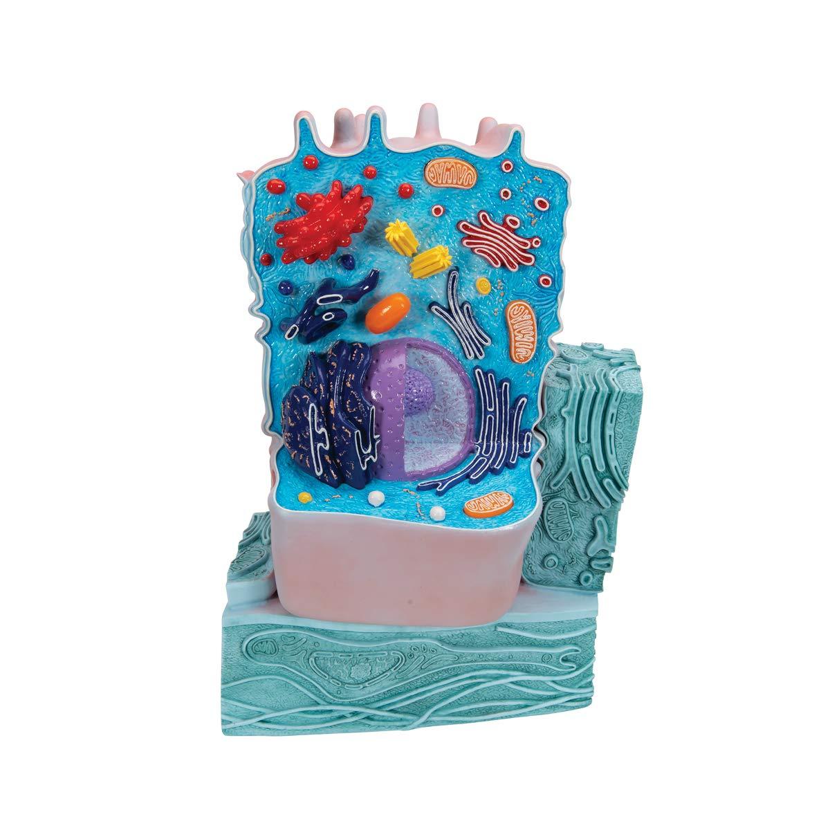 3B Scientific R04 Animal Cell Model, 8.3'' x 4.3'' x 12.2''