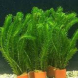 ELODEA DENSA pianta ossigenante laghetto e acquario 8-10 steli in mazzetto piombato (3)