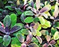 Purple Sage Live Herb Plant