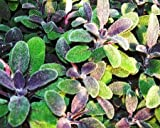 Purple Sage Live Herb Plant