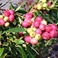 "Blueberry Plants ""Pink Lemonade"" (Rabbiteye) Includes (4) Four Plants"