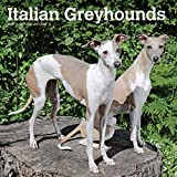Italian Greyhounds 2020 12 x 12 Inch Monthly Square Wall Calendar, Animals Italian Dog Breeds (English, Spanish and French Edition)