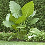 Elephant Ears (colocasia) 3 Bulb- bold tropical effect to and landscape.