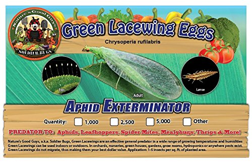 Green Lacewing 50,000 Eggs - Organic Natural Aphid Control by Nature's Good Guys (Image #3)