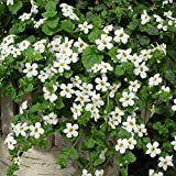 Bacopa Flower Garden Seeds - Utopia Series - Blutopia - 100 Seeds - Annual Flower Gardening Seeds
