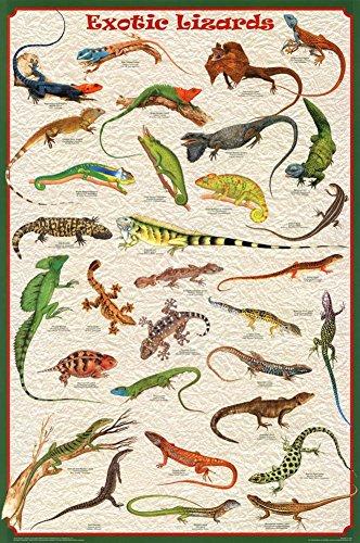 Exotic Lizards Poster 24x36 - Anole Lizard