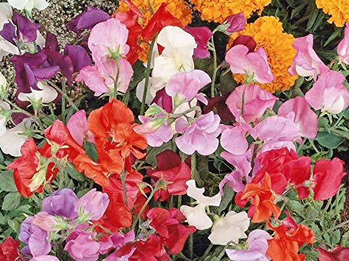 Sweet Pea Knee High Mix Seeds for Growing Fragrant Dwarf Pink Red Purple White Flowers bin237 (25 Seeds)