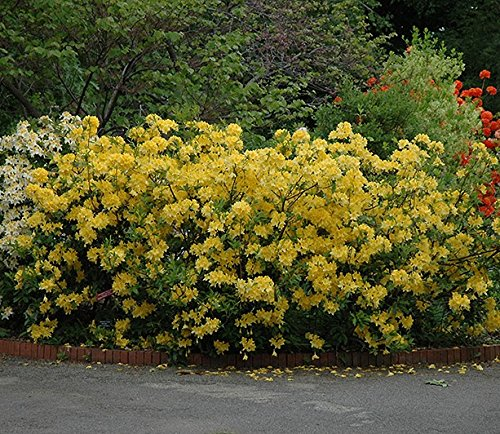 Lemon Lights Yellow Deciduous Azalea - Live Plant - Starter Plug (LG)
