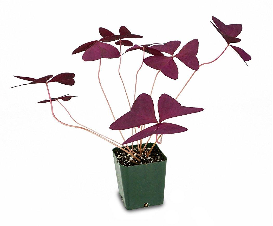 Oxalis regnellii 'Francis'-Purple Shamrock