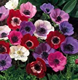 De Caen Anemone Windflowers -25 Bulbs 7/8 cm - Very Hardy!