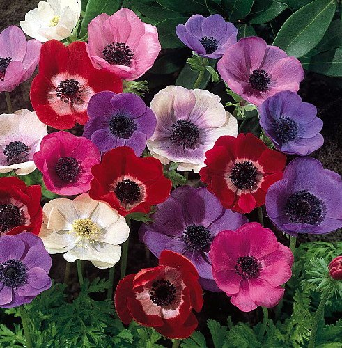 De Caen Anemone Windflowers -25 Bulbs 7/8 cm - Very Hardy! by Anemone