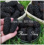 Big Promotion 100 Thornless Blackberry Seeds ,Delicious ,Nutritious, Sweet, Natural Snack, Perennial Garden or Pot Fruit