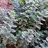 Wild Zaatar Oregano Seeds (Origanum syriacum) 30+ Rare Heirloom Herb Seeds