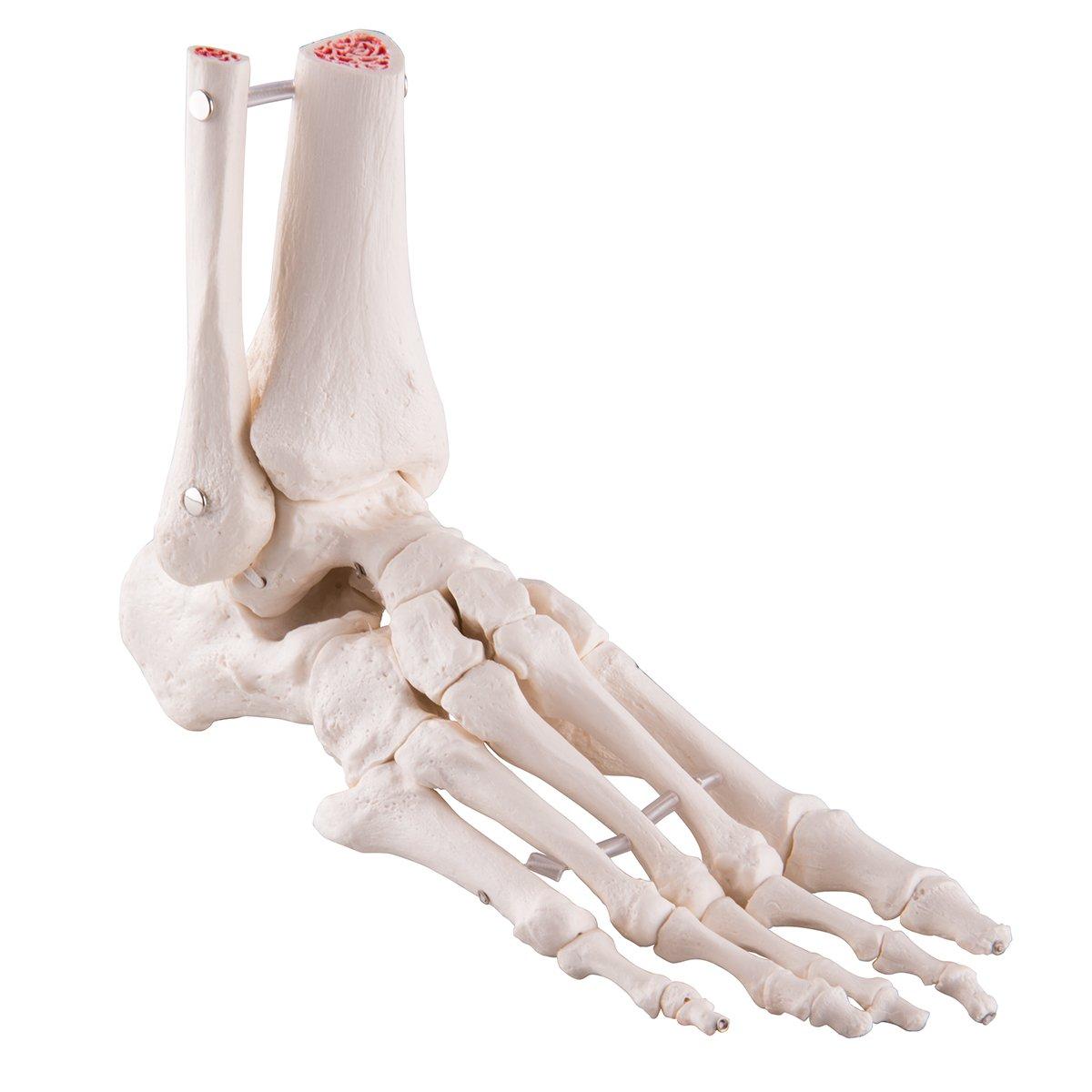 足の骨モデル,脛骨腓骨付,エラスティックコードつなぎ   B00B5YY6GE