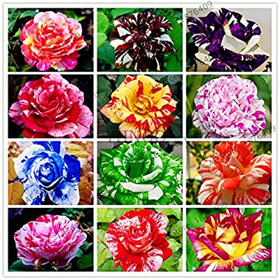 Kasuki 50pcs Holland Candy Stripe Rose Bonsai Lover Gift Blue Green Black Rainbow Rare Home Gardening Flower, (Color: Mix): Garden & Outdoor