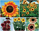 1600 Seeds Sunny Sun Power Sunflower Mix, 10 Species