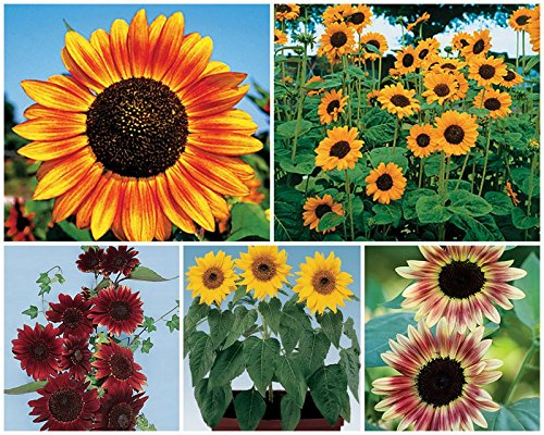 1600 Seeds Sunny Sun Power Sunflower Mix, 10 Species