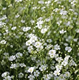 Earthcare Seeds Baby's Breath 'Covent Garden' 1000 Seeds (Gypsophila elegans)