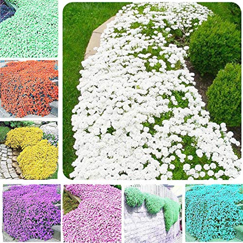 ASTONISH Seeds Package: Red: Creeping Thyme Seeds Rock Cress Seeds Rare Ground Cover Flower Climbing Plant