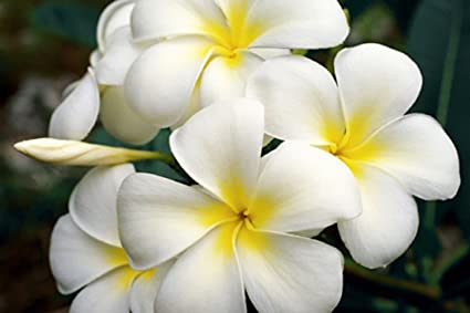 Amazon hawaiian white plumeria plant cutting grow hawaii hawaiian white plumeria plant cutting grow hawaii mightylinksfo