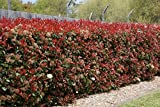 Fraser'S Photina Aka Photinia Fraseri Live Plant Fit 05 Gallon Pot