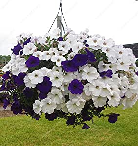 200 Pcs / Lot Mixed Heirloom Hanging Bonsai Petunia Seeds Beautiful Garden Flowers Seed Tohum Jardin Plant Flower Pot Sementes Clear