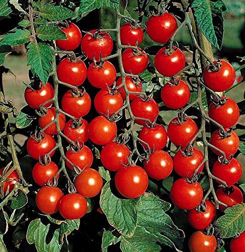 Supersweet Cherry Tomato Live Plants
