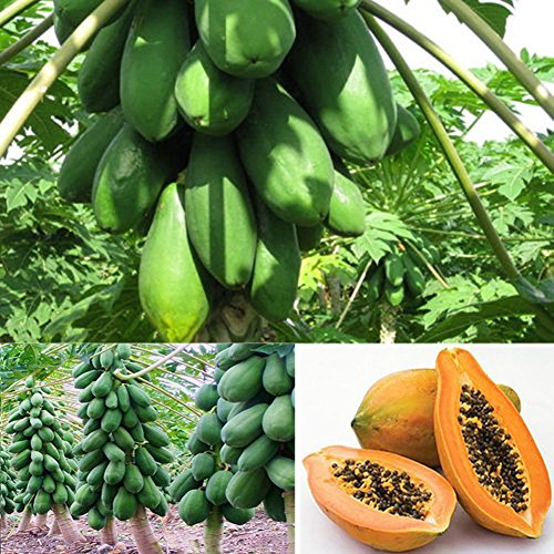 Fruit Seeds - Delaman Maradol Papaya Seeds, Fruit Tree Plants Seeds for Outdoor Home Garden,8 Pcs